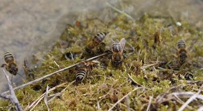 Photo: Apis mellifera  Hymenoptera > Apidae