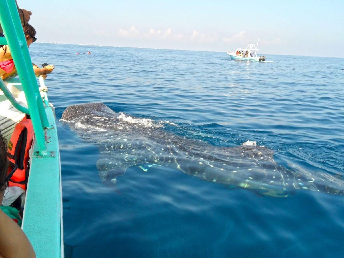Porque NÃO mergulhamos com TUBARÕES BALEIA em OSLOB   Filipinas