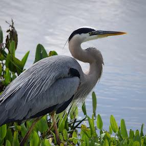 Bird 1 by Keith Heinly - Animals Birds ( water, bird, wetlands, florida, viers )