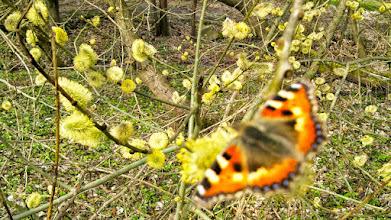 Photo: Frühling Am Tücking (an der Einmündung des ,Rauten-Wegs' in die Tückingschulstraße) - mit Edelfalter der Art ,Kleiner Fuchs' (vgl. http://de.wikipedia.org/wiki/Kleiner_Fuchs).