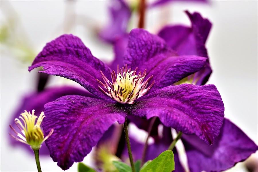 Clematis  by Linda    L Tatler - Flowers Flower Gardens ( flowers, clematis, climbing vine, trelis, purple, flower garden,  )