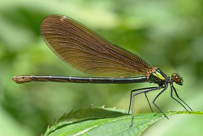Green dragonfly di -Os-