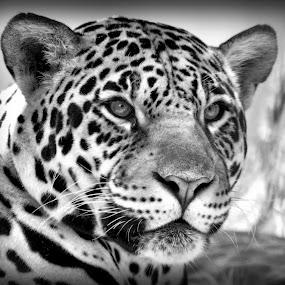Tiger by David Branson - Black & White Animals (  )