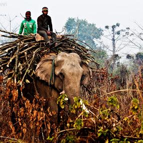 heavy duty by Mahesh Thiru - Animals Other Mammals ( elephants, mammals, work, labour )