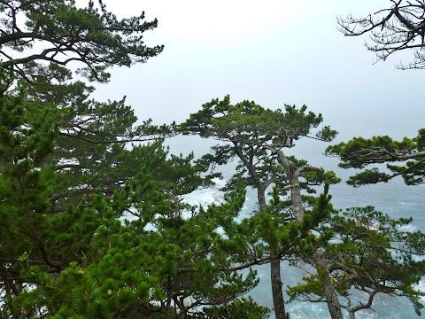 歌津崎の松 写真1