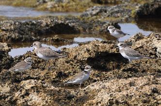 Photo: Charadrius leschenaultii(2 birds)- Charadrius alexandrinus(2 birds)- Charadrius hiaticula(1 bird)