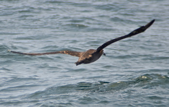 Photo: 45. We were lucky enough to see an albatross, with their massive wingspans.