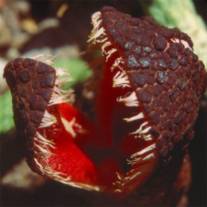 Hydnora Africana