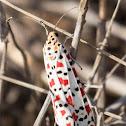 Crimson-speckled Footman/Flunkey Utetheisa pulchella