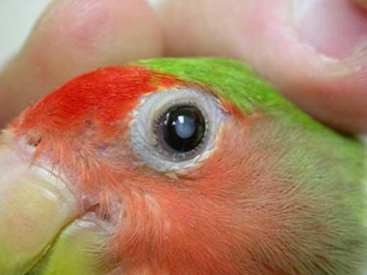 Cataract in a lovebird. (Courtesy VCA hospitals.com)