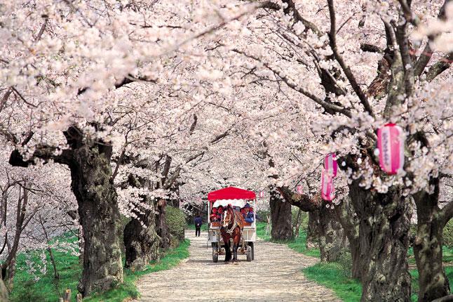 CherryBlossoms_30mar12_pr.jpg