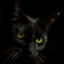 The Boss by Trevor Bond - Animals - Cats Portraits ( cat, low key, pet,  )