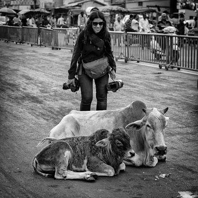 Alt..... vacche sacre! di Maximus57