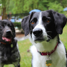 Watching by Stacey Fields - Animals - Dogs Portraits ( dogs, staring, mattie, lina, together, #GARYFONGPETS, #SHOWUSYOURPETS )