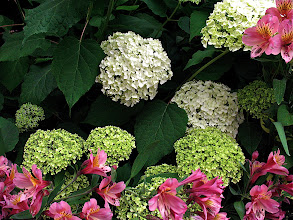 Photo: pink alstroemeria and the green and white flowerheads of 'Annabelle' hydrangea