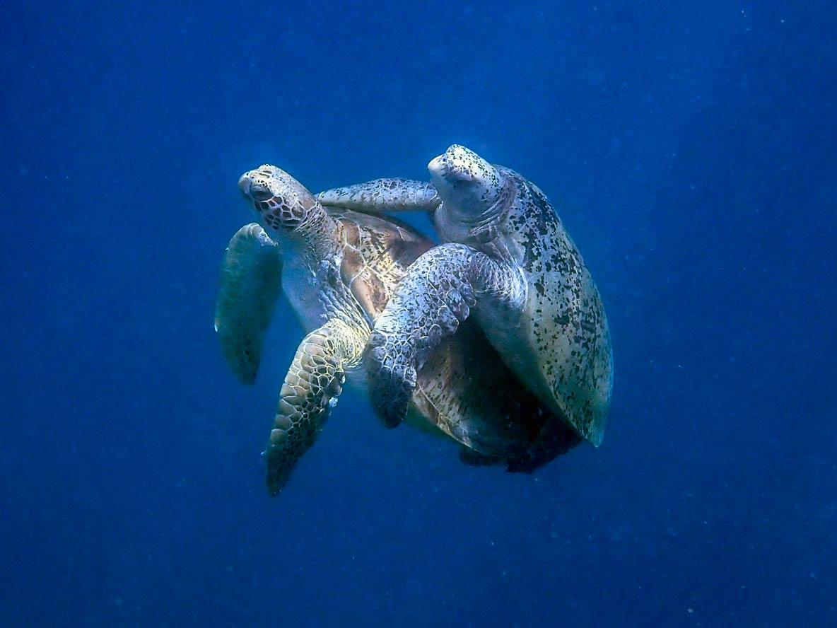 tartarugas cruzando nas maldivas, imagem capturadas por Saha Haslim.
