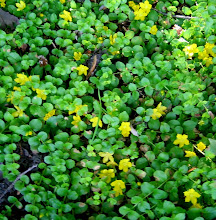 Photo: Moneywort, 6.19