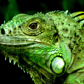 by Pat Somers - Animals Reptiles (  )