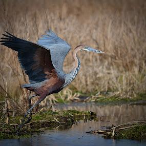 Goliath Heron by Hannes van Rooyen - Animals Birds (  )