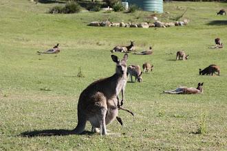 Photo: Year 2 Day 168 -  Kangaroos at Potato Point Caravan Park #2