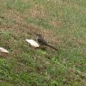 Northern Mockingbird ( One Bird Feeding )
