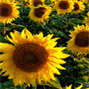 Sunflowers Wallpapers HD Theme