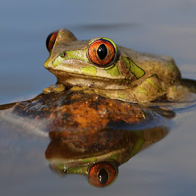 Tree Frog on Rock by David Knox-Whitehead - Animals Amphibians ( water, tree frogs, frogs, amphibians, eyes )