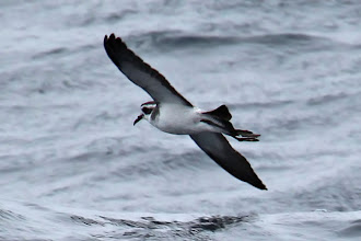Photo: White-faced Storm-Petrel