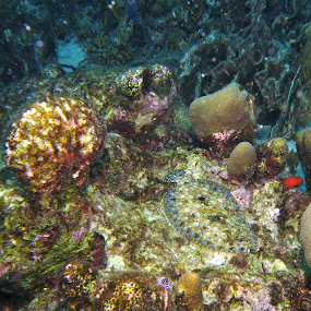 Finding Flounder by Chris Wangard - Animals Sea Creatures