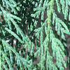 Southern White Cedar