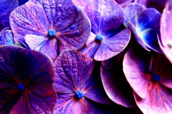 Ortensie in fiore di lukich