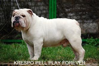 Photo: Отец щенков KRESPO PELL PLAY FOREVER CAC, BOB http://www.bulldogpedigree.com/pedigreeRu.jsp?id=7653