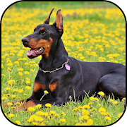 Doberman Wallpapers