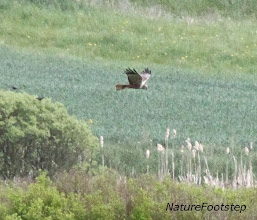 Photo: Brun kärrhök - Circus aeruginosus - Marsh Harrier