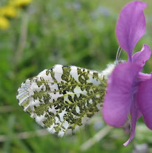 Photo: Orange tip butterfly (probably female) 18 April 2015 © Gill Smith 2015