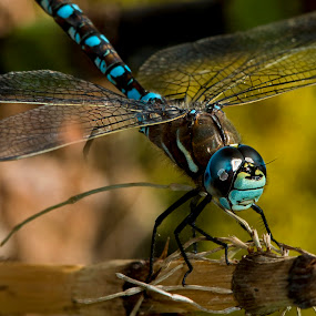 A Blue-eyed Darner Dragonfly by Sparty Rodgers - Animals Insects & Spiders ( 300mm f4.5 af-s, d800, western washington fauna, pacific northwest, insect, dragonfly, a blue-eyed darner dragonfly,  )