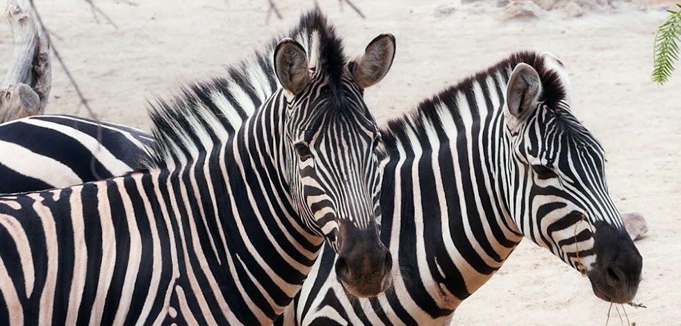Cebras en el Oasys Minihollywood Reserva zoologica.