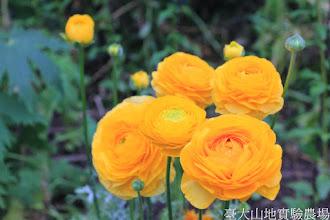 Photo: 拍攝地點: 梅峰-溫帶花卉區 拍攝植物: 陸蓮 拍攝日期: 2015_02_09_FY