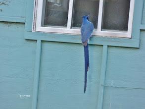 Photo: Black-throated Magpie-jay Tony Provenzano