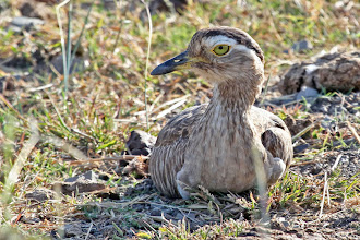 Photo: Double-striped Thick-knee
