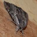 Ultronia underwing