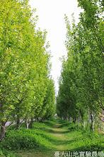 Photo: 拍攝地點: 梅峰-一平台 拍攝植物: 白楊 拍攝日期: 2014_04_16_FY