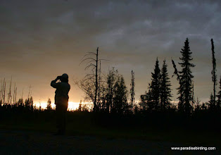 Photo: Evening birding in the boreal forest, northern Alberta