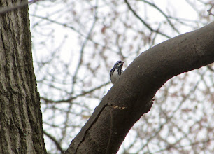 Photo: Black and White Warbler