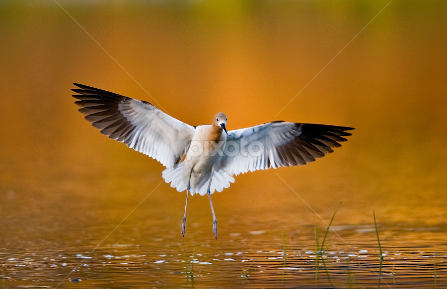 Landing by Dan Pham - Animals Birds (  )