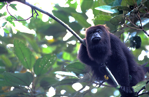 monkey-in-Belize.jpg - The Black Howler Monkey of Belize.