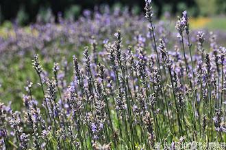 Photo: 拍攝地點: 梅峰-一平臺 拍攝植物: 薰衣草 拍攝日期: 2014_07_27_FY