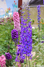 Photo: 拍攝地點: 梅峰-溫帶花卉區 拍攝植物: 大飛燕草 拍攝日期: 2014_04_16_FY