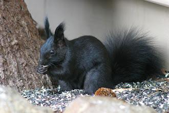 Photo: Aberts squirrel