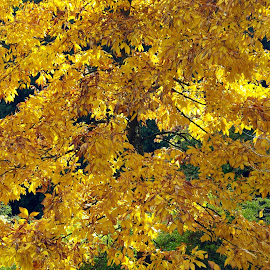 Golden Leaves by Ingrid Anderson-Riley - Nature Up Close Trees & Bushes